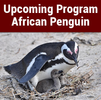 Upcoming Program: African Penguin